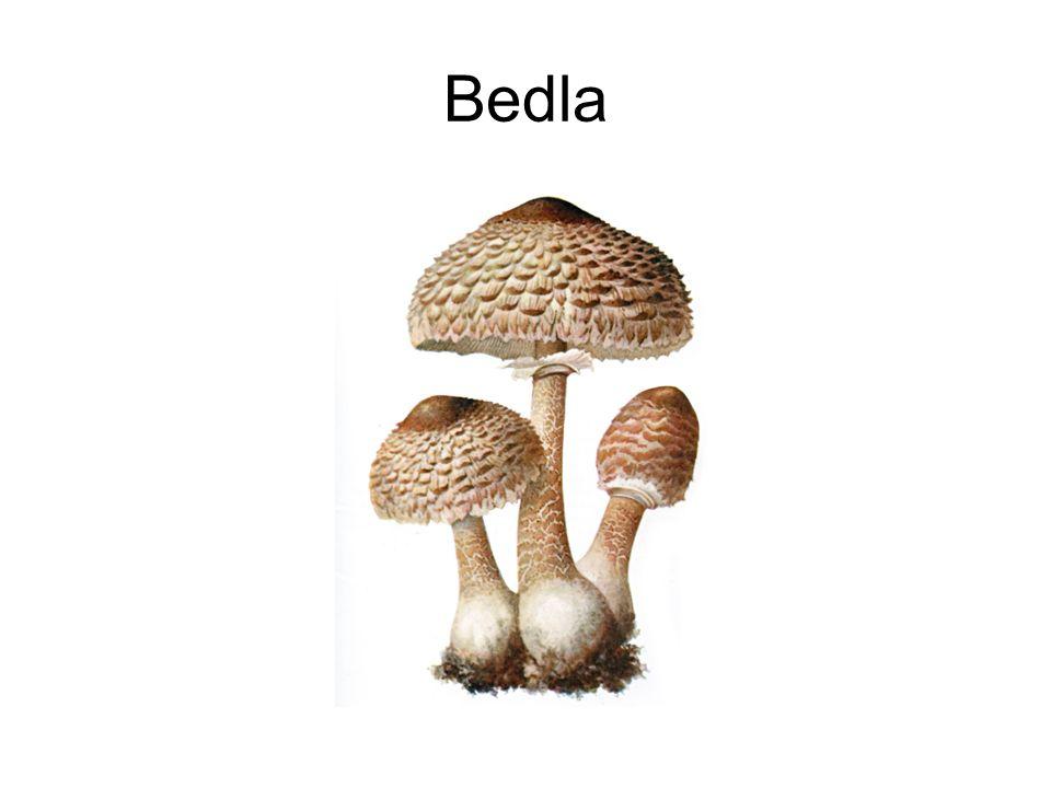 Bedla