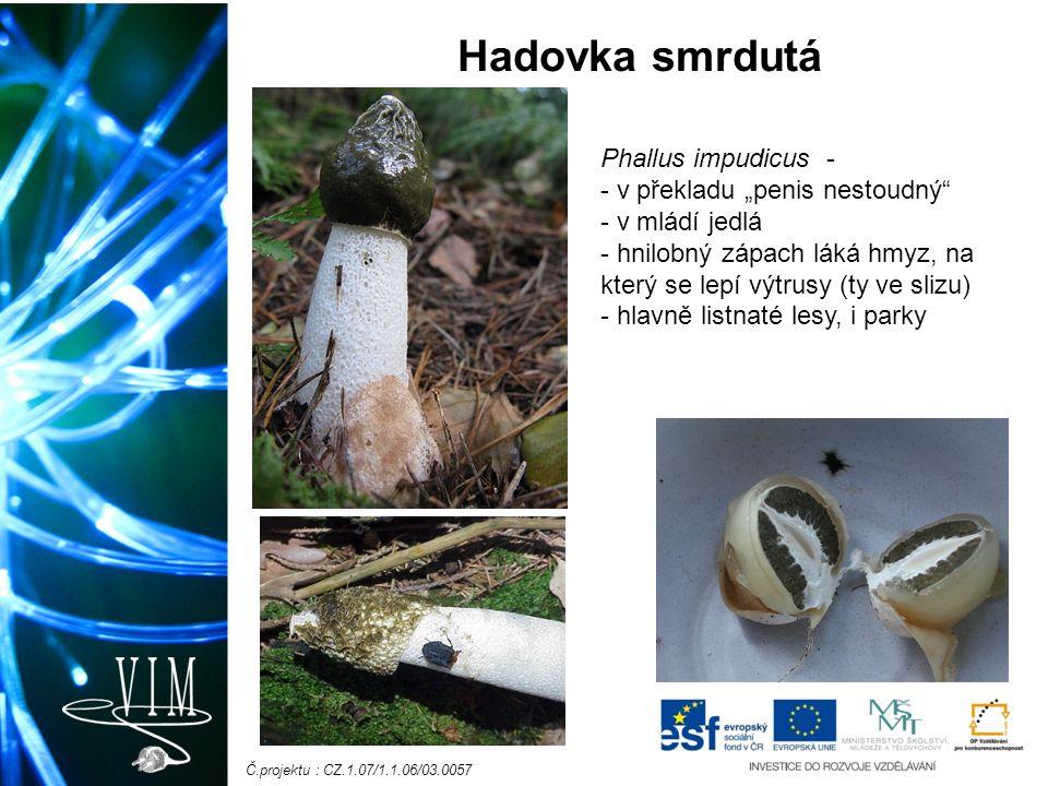 """Č.projektu : CZ.1.07/1.1.06/03.0057 Hadovka smrdutá Phallus impudicus - - v překladu """"penis nestoudný - v mládí jedlá - hnilobný zápach láká hmyz, na který se lepí výtrusy (ty ve slizu) - hlavně listnaté lesy, i parky"""