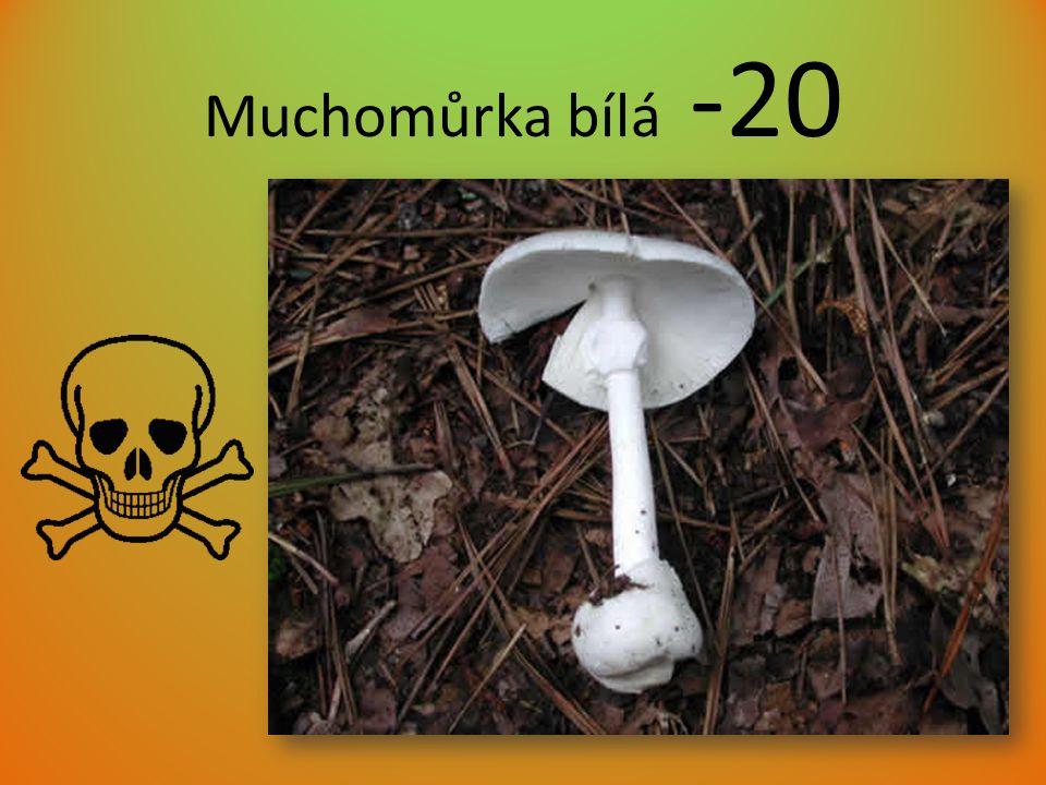 Muchomůrka bílá -20