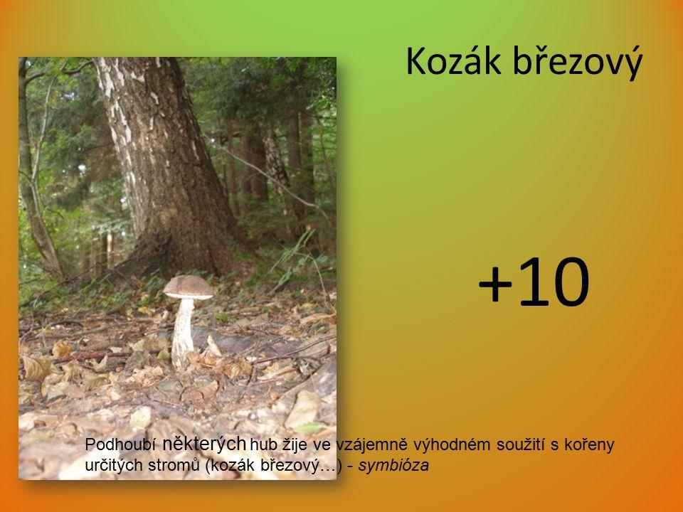Kozák březový +10 Podhoubí některých hub žije ve vzájemně výhodném soužití s kořeny určitých stromů (kozák březový…) - symbióza