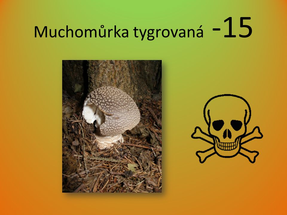 Muchomůrka tygrovaná -15