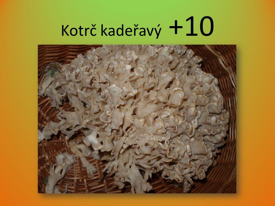 Kotrč kadeřavý +10