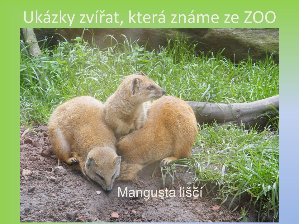 Ukázky zvířat, která známe ze ZOO Mangusta liščí