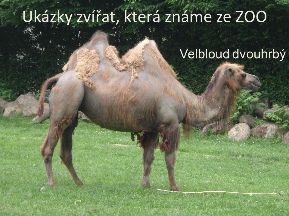 Ukázky zvířat, která známe ze ZOO Velbloud dvouhrbý