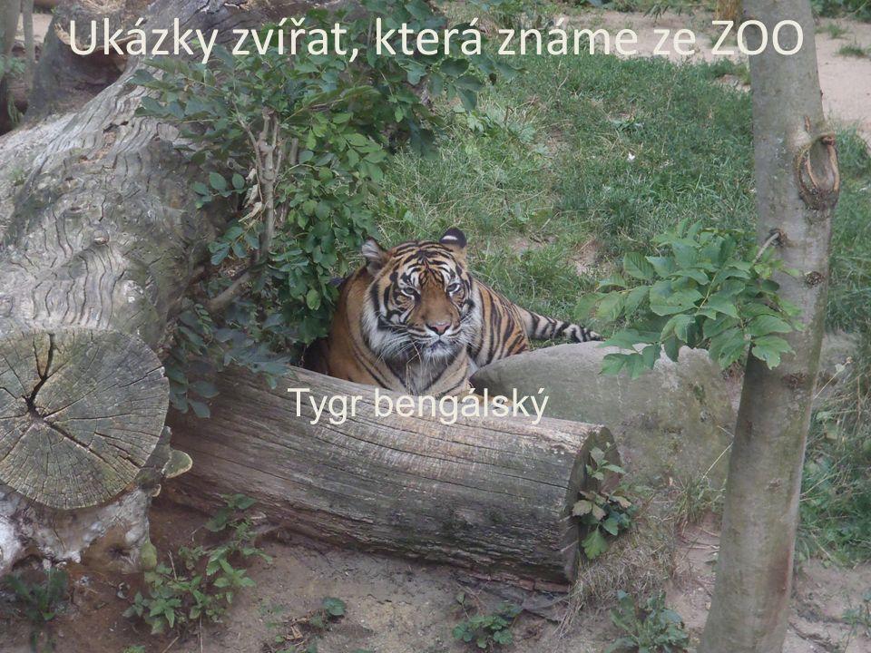 Ukázky zvířat, která známe ze ZOO Tygr bengálský