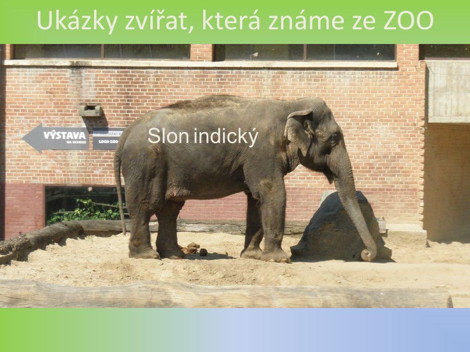 Ukázky zvířat, která známe ze ZOO Slon indický
