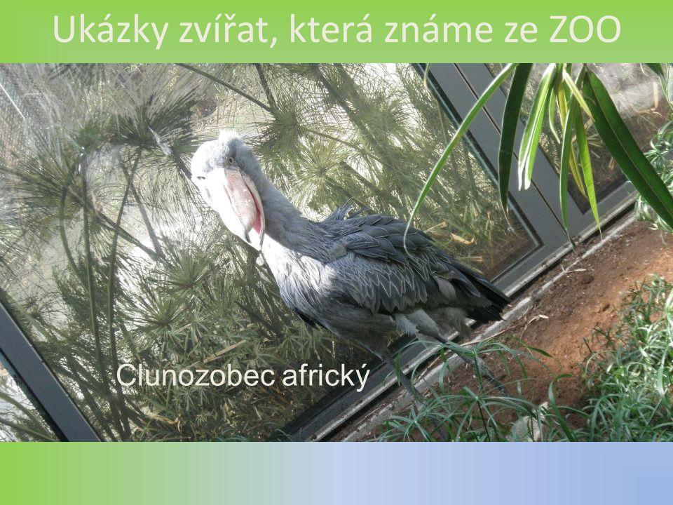 Ukázky zvířat, která známe ze ZOO Člunozobec africký