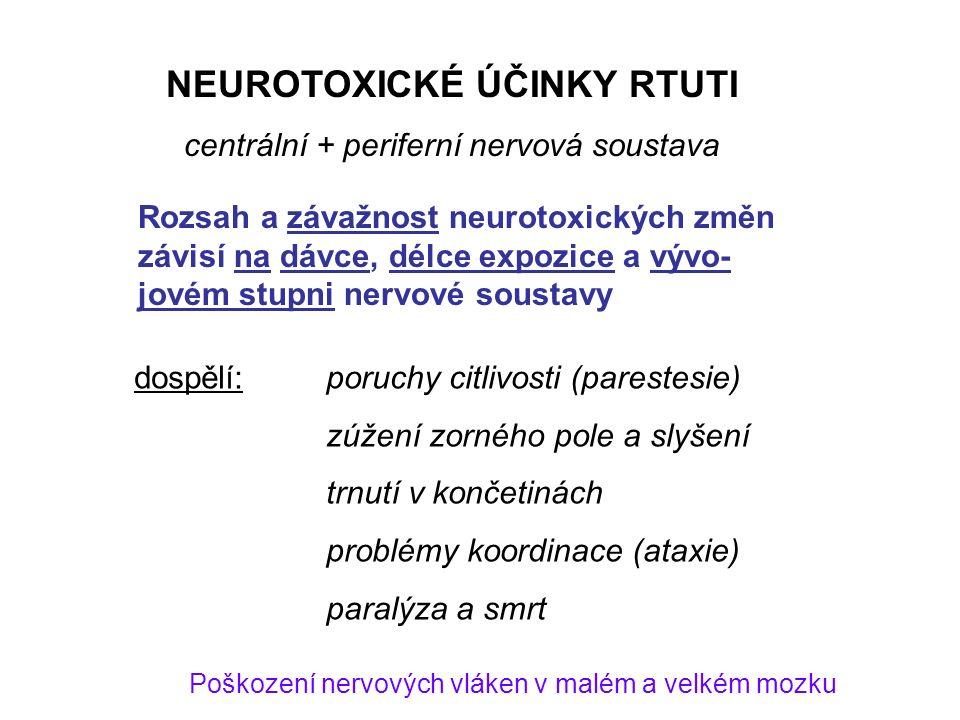 NEUROTOXICKÉ ÚČINKY RTUTI centrální + periferní nervová soustava dospělí:poruchy citlivosti (parestesie) zúžení zorného pole a slyšení trnutí v končetinách problémy koordinace (ataxie) paralýza a smrt Poškození nervových vláken v malém a velkém mozku Rozsah a závažnost neurotoxických změn závisí na dávce, délce expozice a vývo- jovém stupni nervové soustavy