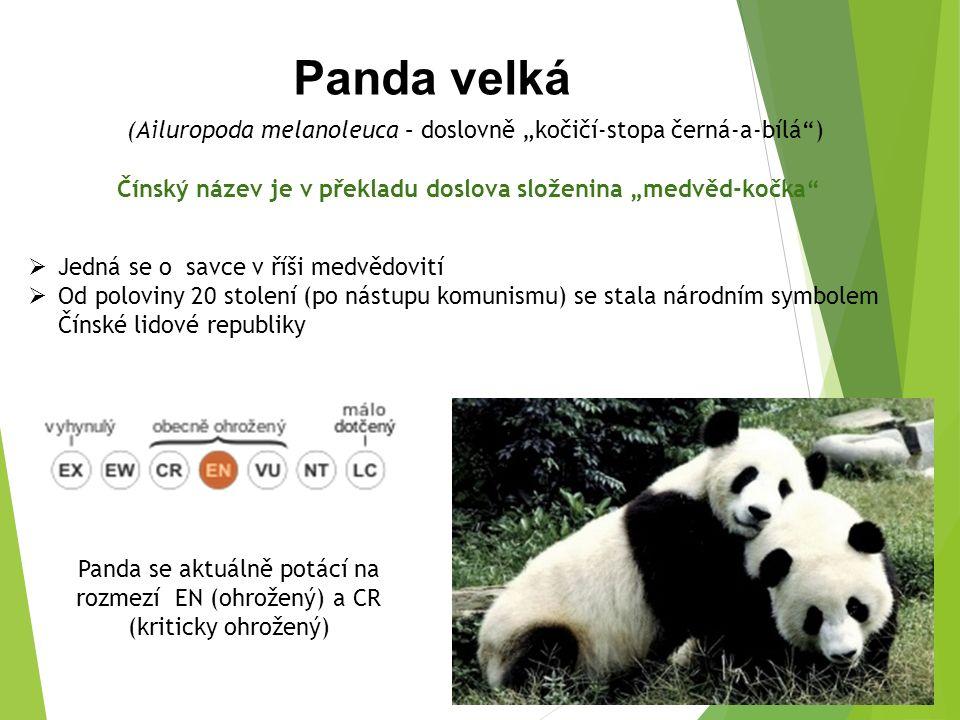 """Panda velká (Ailuropoda melanoleuca – doslovně """"kočičí-stopa černá-a-bílá ) Čínský název je v překladu doslova složenina """"medvěd-kočka Panda se aktuálně potácí na rozmezí EN (ohrožený) a CR (kriticky ohrožený)  Jedná se o savce v říši medvědovití  Od poloviny 20 stolení (po nástupu komunismu) se stala národním symbolem Čínské lidové republiky"""