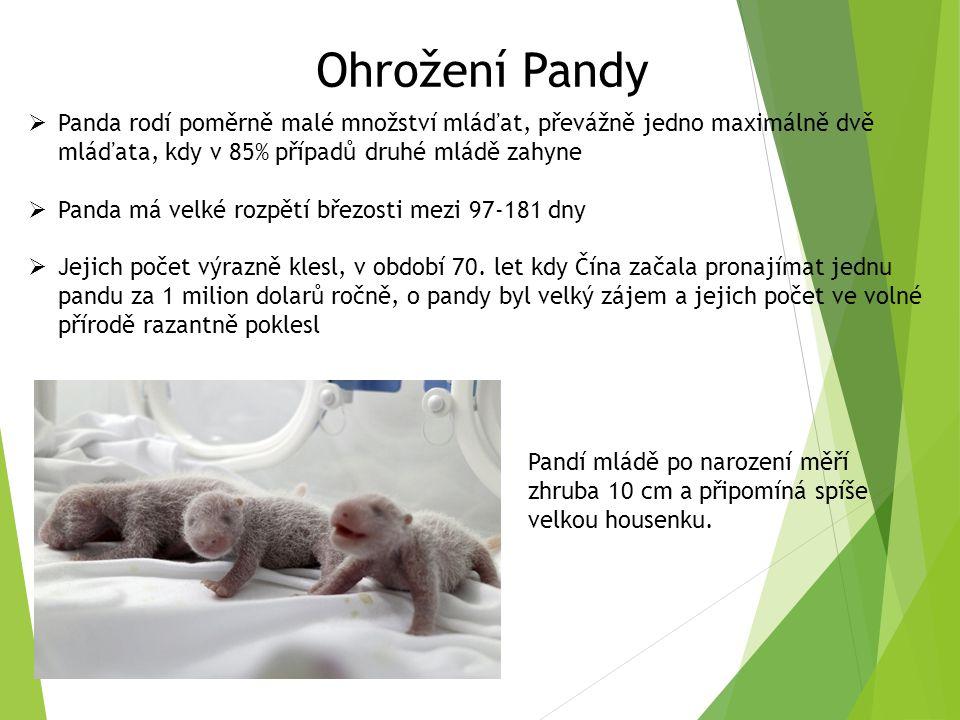 Ohrožení Pandy  Panda rodí poměrně malé množství mláďat, převážně jedno maximálně dvě mláďata, kdy v 85% případů druhé mládě zahyne  Panda má velké rozpětí březosti mezi 97-181 dny  Jejich počet výrazně klesl, v období 70.