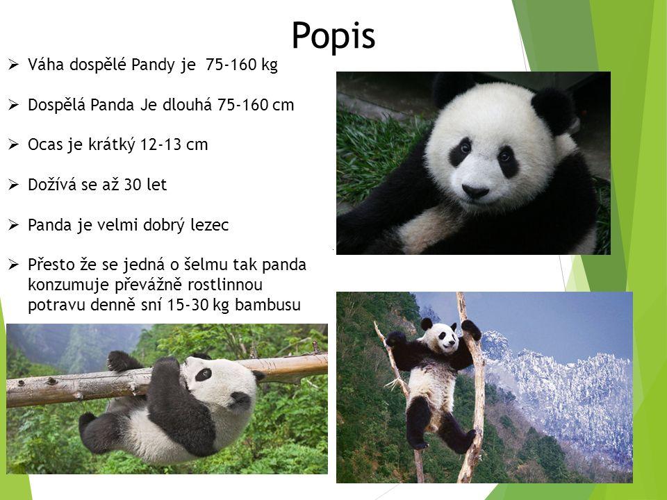 Popis  Váha dospělé Pandy je 75-160 kg  Dospělá Panda Je dlouhá 75-160 cm  Ocas je krátký 12-13 cm  Dožívá se až 30 let  Panda je velmi dobrý lezec  Přesto že se jedná o šelmu tak panda konzumuje převážně rostlinnou potravu denně sní 15-30 kg bambusu