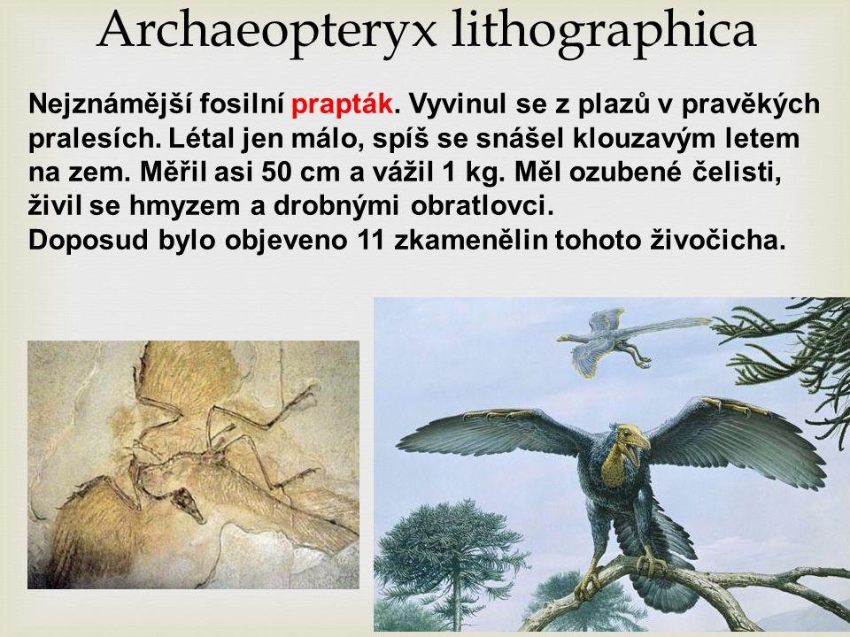 Archaeopteryx lithographica Nejznámější fosilní prapták.