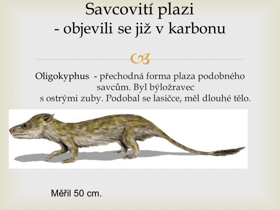  Savcovití plazi - objevili se již v karbonu Oligokyphus - přechodná forma plaza podobného savcům. Byl býložravec s ostrými zuby. Podobal se lasičce,