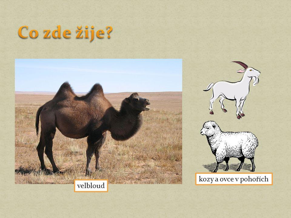 velbloud kozy a ovce v pohořích