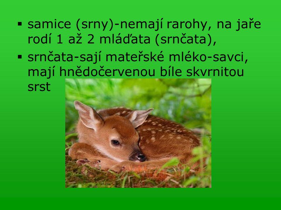  samice (srny)-nemají rarohy, na jaře rodí 1 až 2 mláďata (srnčata),  srnčata-sají mateřské mléko-savci, mají hnědočervenou bíle skvrnitou srst