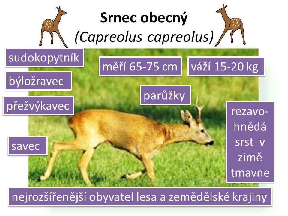 Srnec obecný (Capreolus capreolus) savec sudokopytník rezavo- hnědá srst v zimě tmavne býložravec váží 15-20 kg měří 65-75 cm parůžky nejrozšířenější obyvatel lesa a zemědělské krajiny přežvýkavec