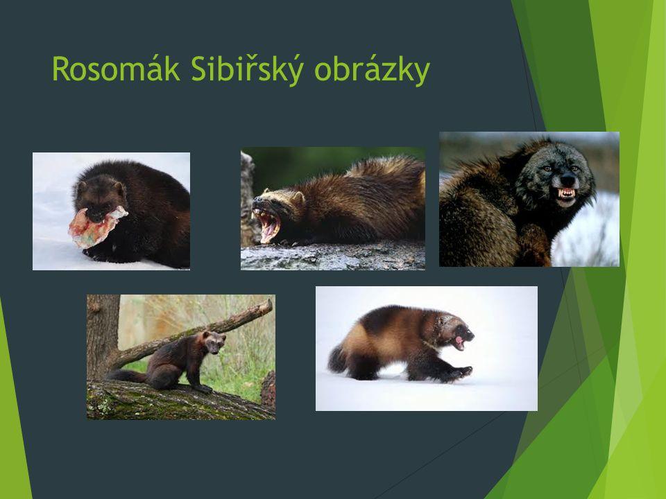 Rosomák Sibiřský Video  Zde je video na,kterém bojuje o potravu Rosomák s Vlke  https://www.youtube.com/watch?v=8Ryzqw6ZPE4&spfr eload=10
