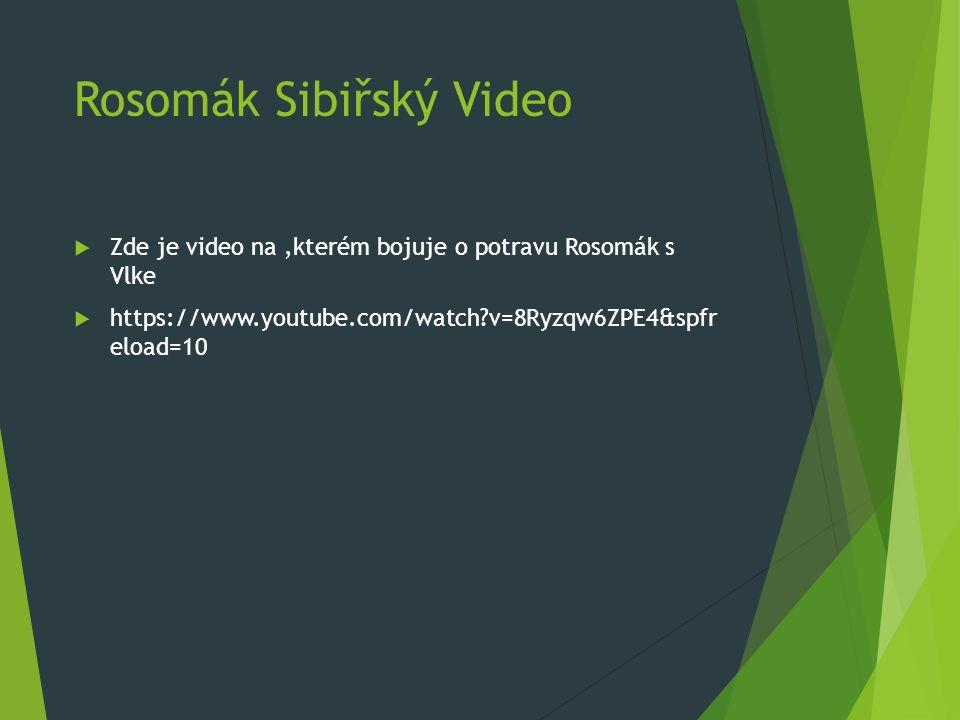 Rosomák Sibiřský Video  Zde je video na,kterém bojuje o potravu Rosomák s Vlke  https://www.youtube.com/watch v=8Ryzqw6ZPE4&spfr eload=10