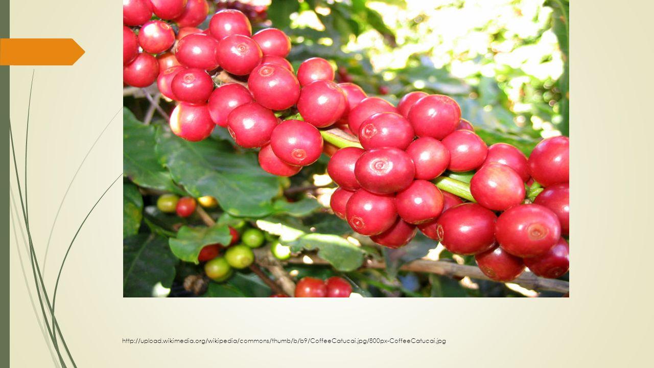 Kávová plantáž http://upload.wikimedia.org/wikipedia/commons/thumb/b/b9/CoffeeCatucai.jpg/800px-CoffeeCatucai.jpg
