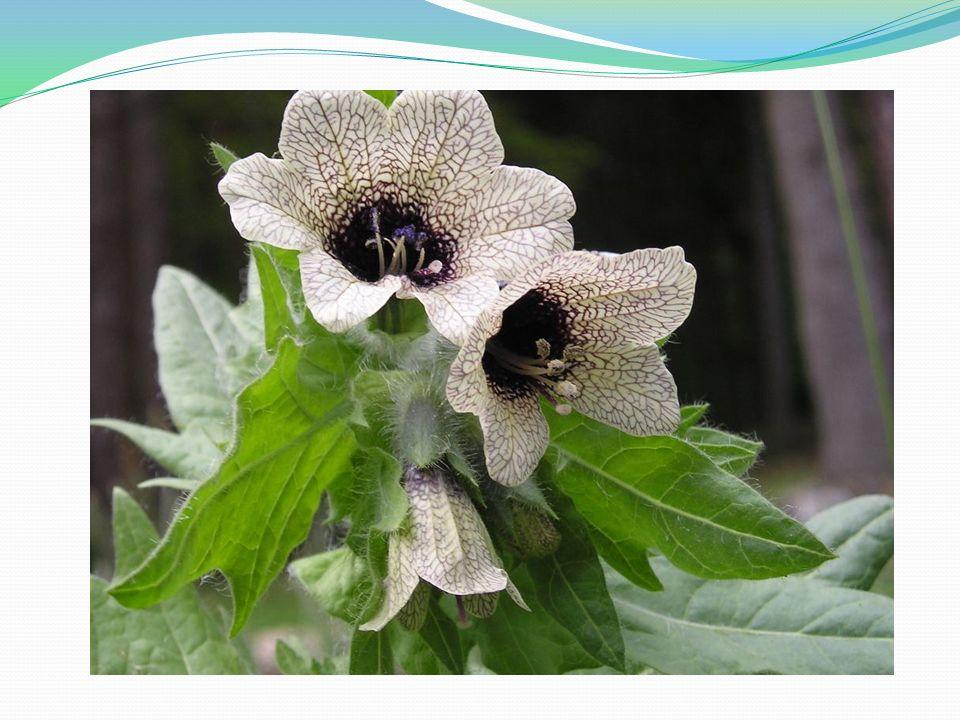 Jednoletá až dvouletá rostlina.Odpudivě páchnoucí bylina, lodyha je hustě olistěna zelenými listy.