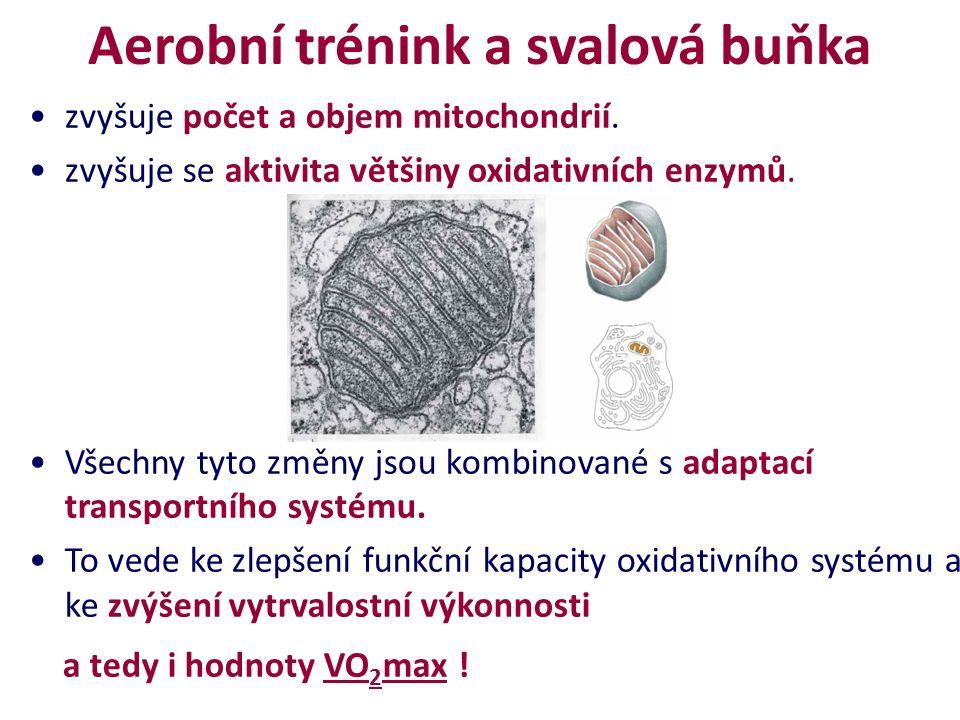 Aerobní trénink a svalová buňka zvyšuje počet a objem mitochondrií.