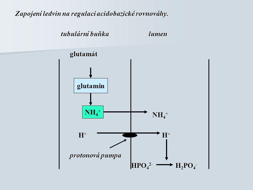 Zapojení ledvin na regulaci acidobazické rovnováhy. tubulární buňka lumen tubulární buňka lumen glutamát glutamát NH 4 + NH 4 + H + H + H + H + proton