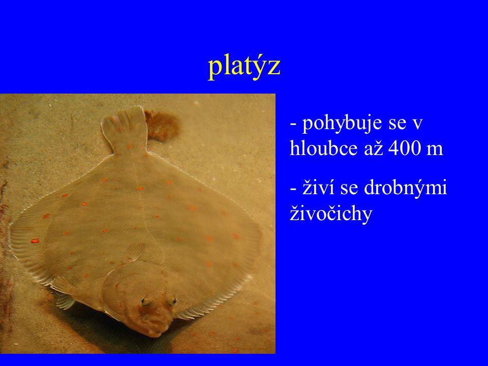 platýz - pohybuje se v hloubce až 400 m - živí se drobnými živočichy