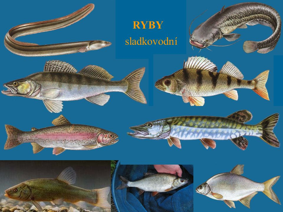 RYBY sladkovodní