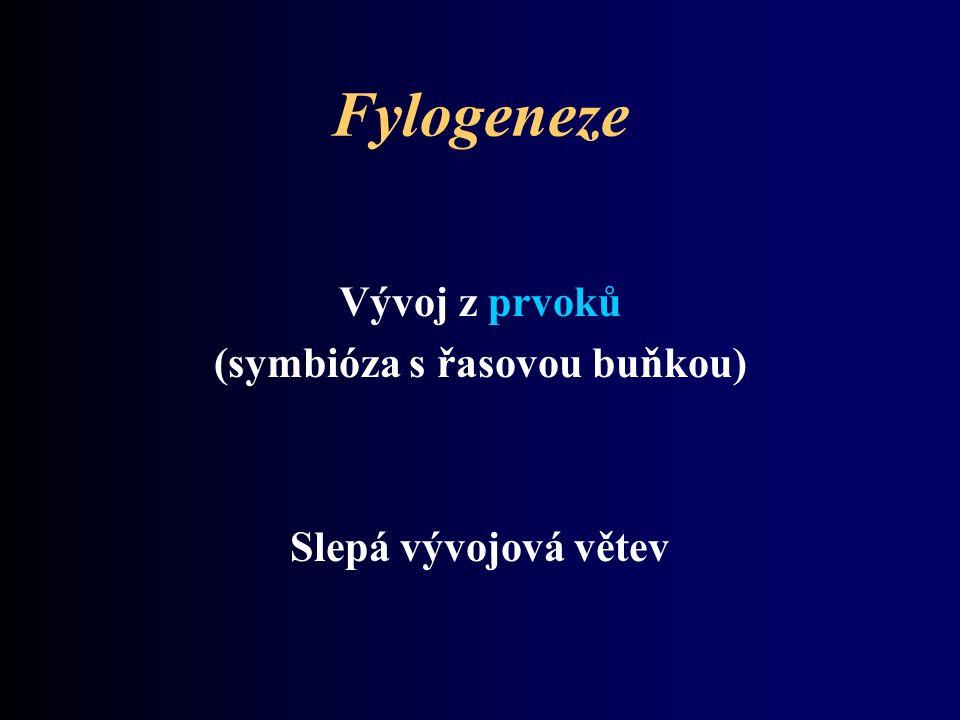 Fylogeneze Vývoj z prvoků (symbióza s řasovou buňkou) Slepá vývojová větev