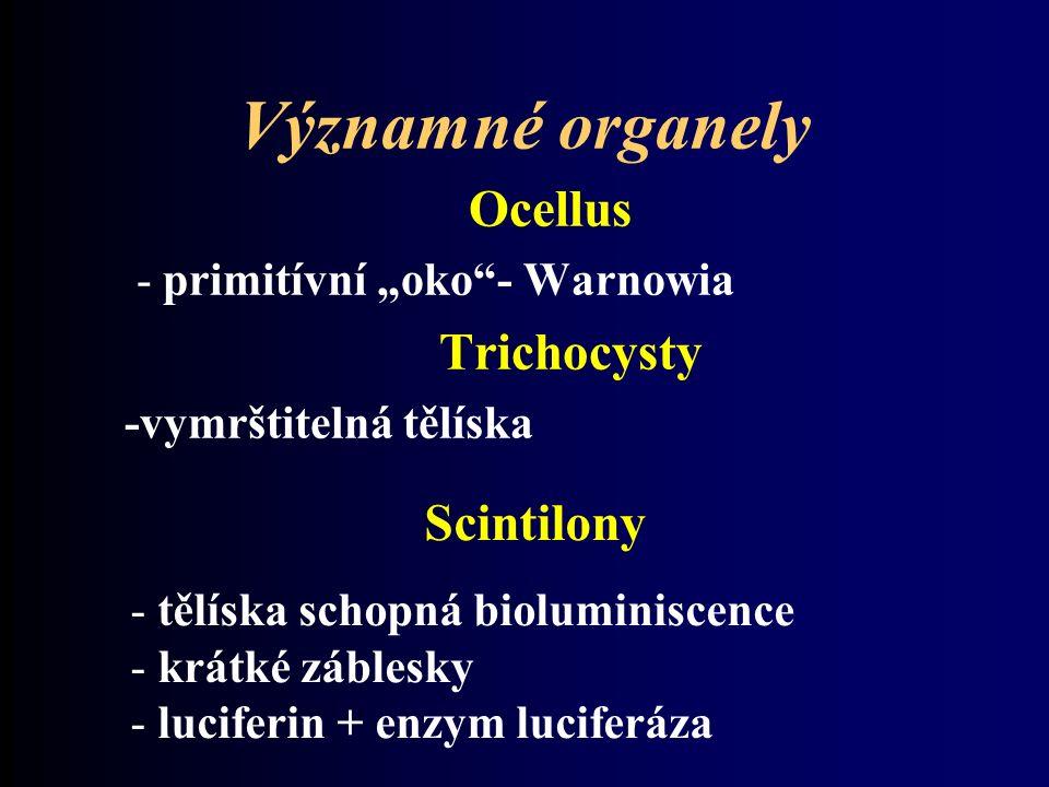 """Významné organely Ocellus - primitívní """"oko - Warnowia Trichocysty -vymrštitelná tělíska Scintilony - tělíska schopná bioluminiscence - krátké záblesky - luciferin + enzym luciferáza"""