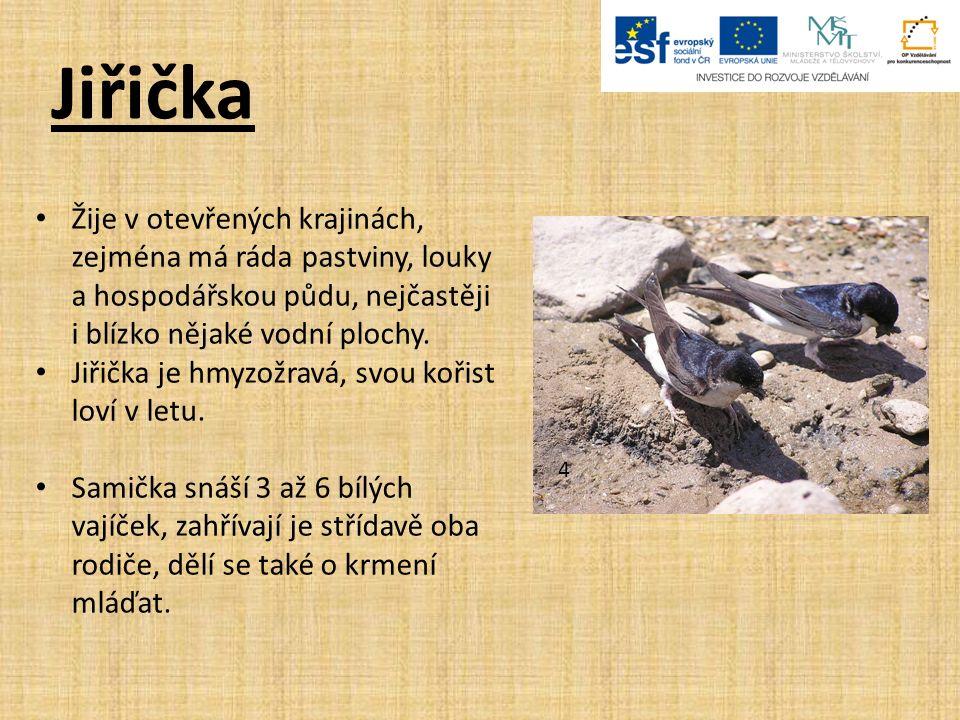Jiřička 4 Žije v otevřených krajinách, zejména má ráda pastviny, louky a hospodářskou půdu, nejčastěji i blízko nějaké vodní plochy.