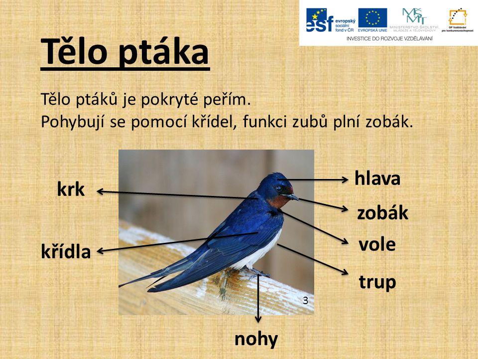 Tělo ptáka Tělo ptáků je pokryté peřím. Pohybují se pomocí křídel, funkci zubů plní zobák.