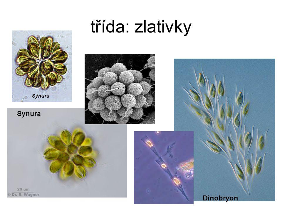 třída: zlativky Synura Dinobryon