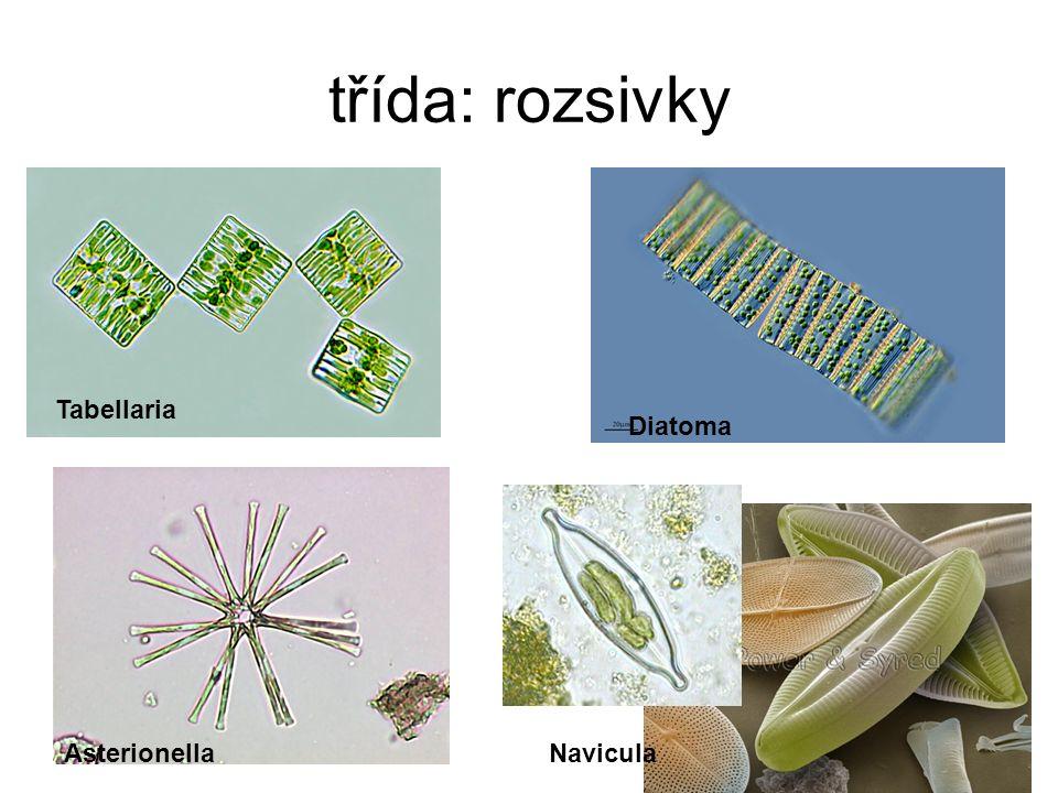 třída: rozsivky Tabellaria Diatoma AsterionellaNavicula