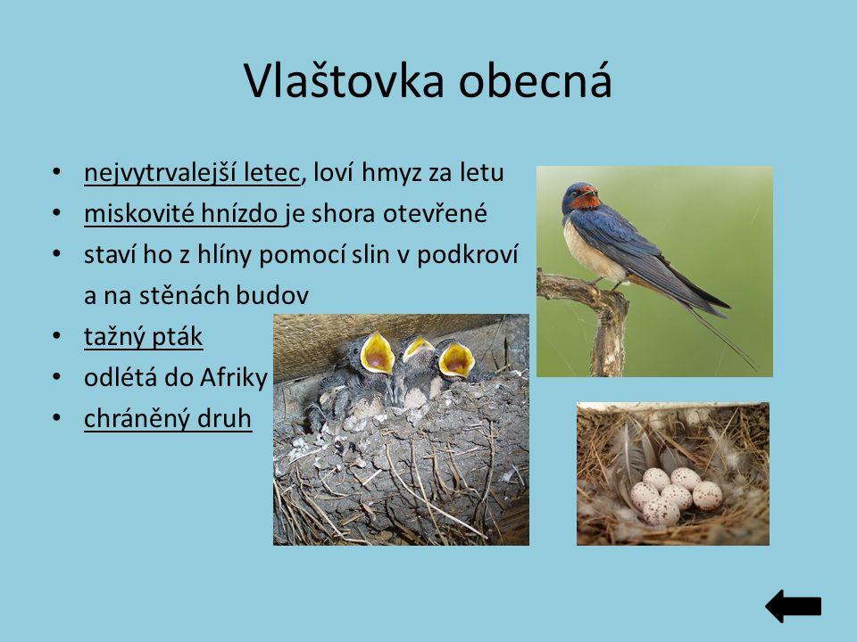 Vlaštovka obecná nejvytrvalejší letec, loví hmyz za letu miskovité hnízdo je shora otevřené staví ho z hlíny pomocí slin v podkroví a na stěnách budov