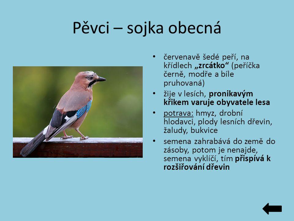 """Pěvci – sojka obecná červenavě šedé peří, na křídlech """"zrcátko"""" (peříčka černě, modře a bíle pruhovaná) žije v lesích, pronikavým křikem varuje obyvat"""