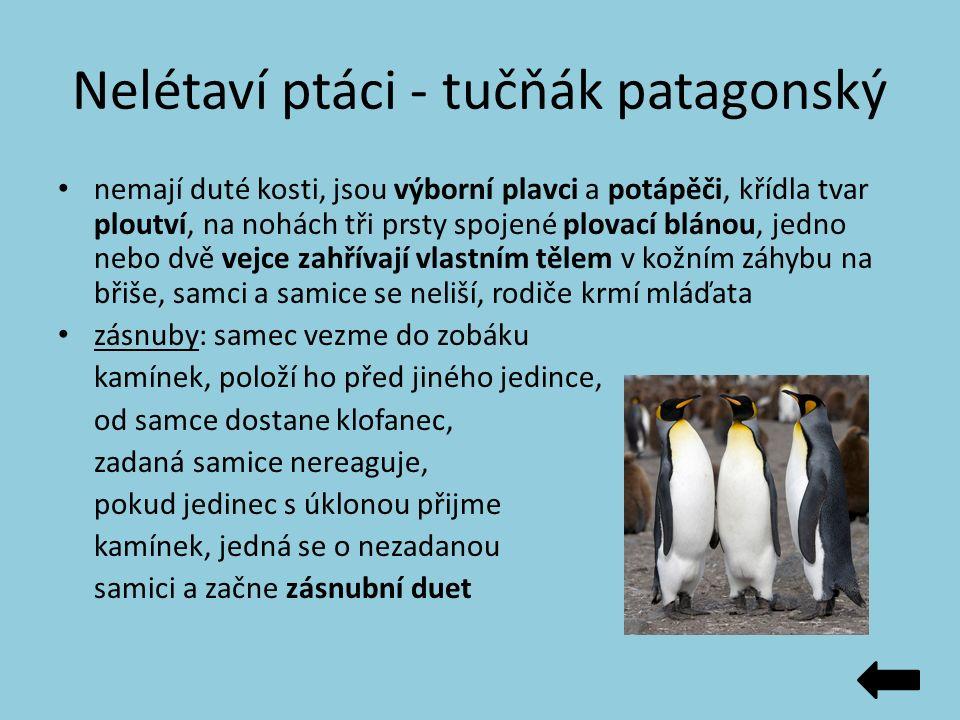 Nelétaví ptáci - tučňák patagonský nemají duté kosti, jsou výborní plavci a potápěči, křídla tvar ploutví, na nohách tři prsty spojené plovací blánou,
