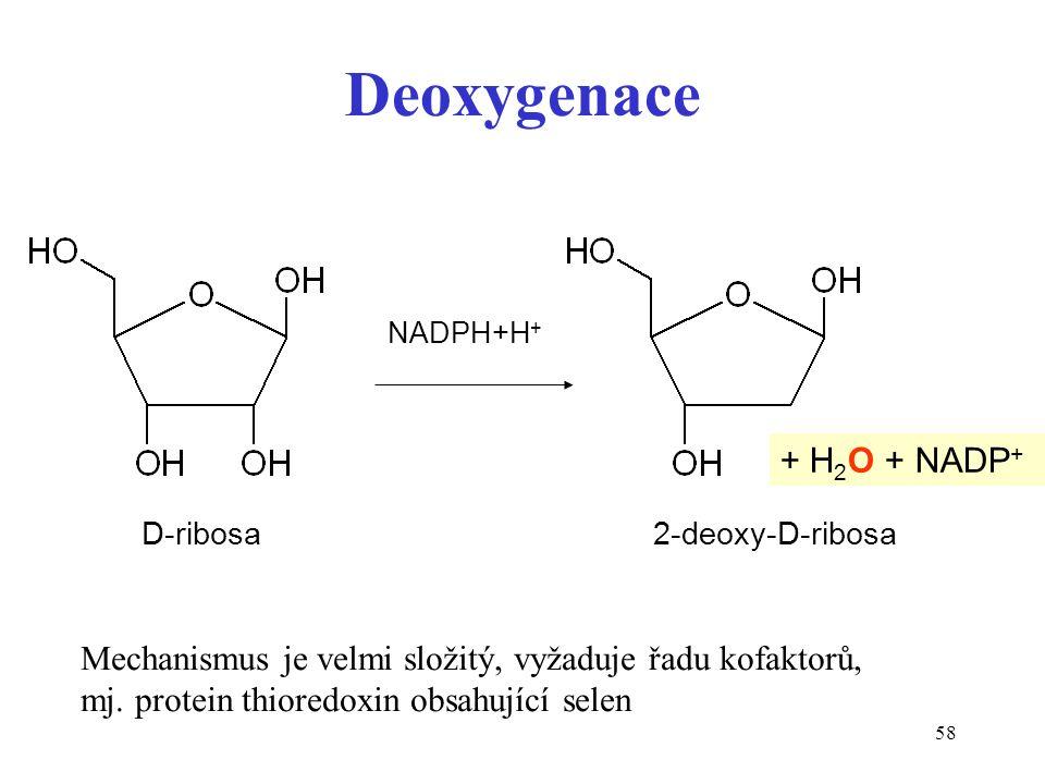 58 Deoxygenace D-ribosa 2-deoxy-D-ribosa Mechanismus je velmi složitý, vyžaduje řadu kofaktorů, mj.