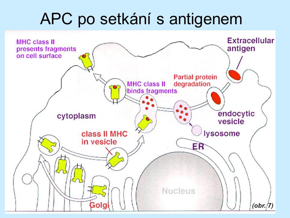 APC po setkání s antigenem (obr. 7)