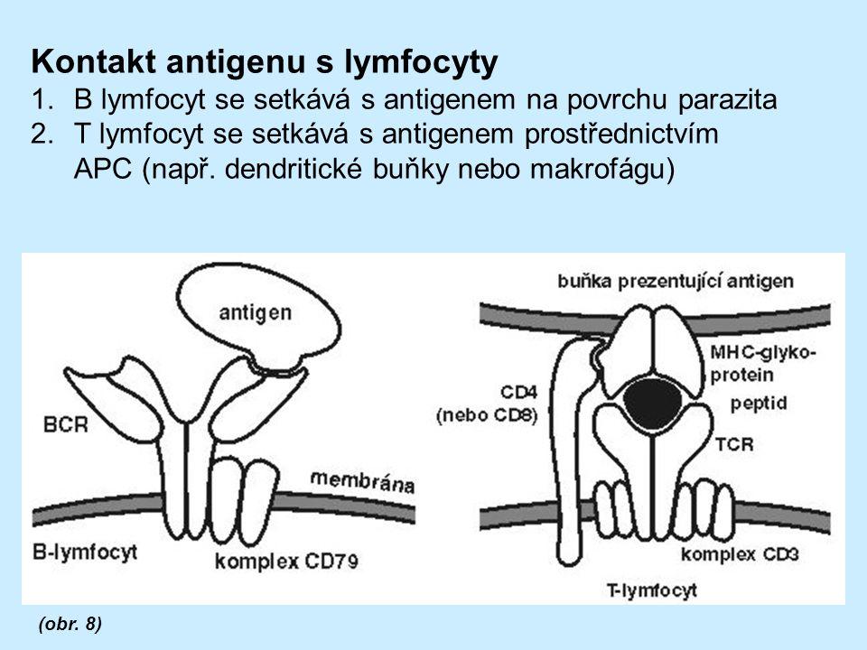 Kontakt antigenu s lymfocyty 1.B lymfocyt se setkává s antigenem na povrchu parazita 2.T lymfocyt se setkává s antigenem prostřednictvím APC (např.