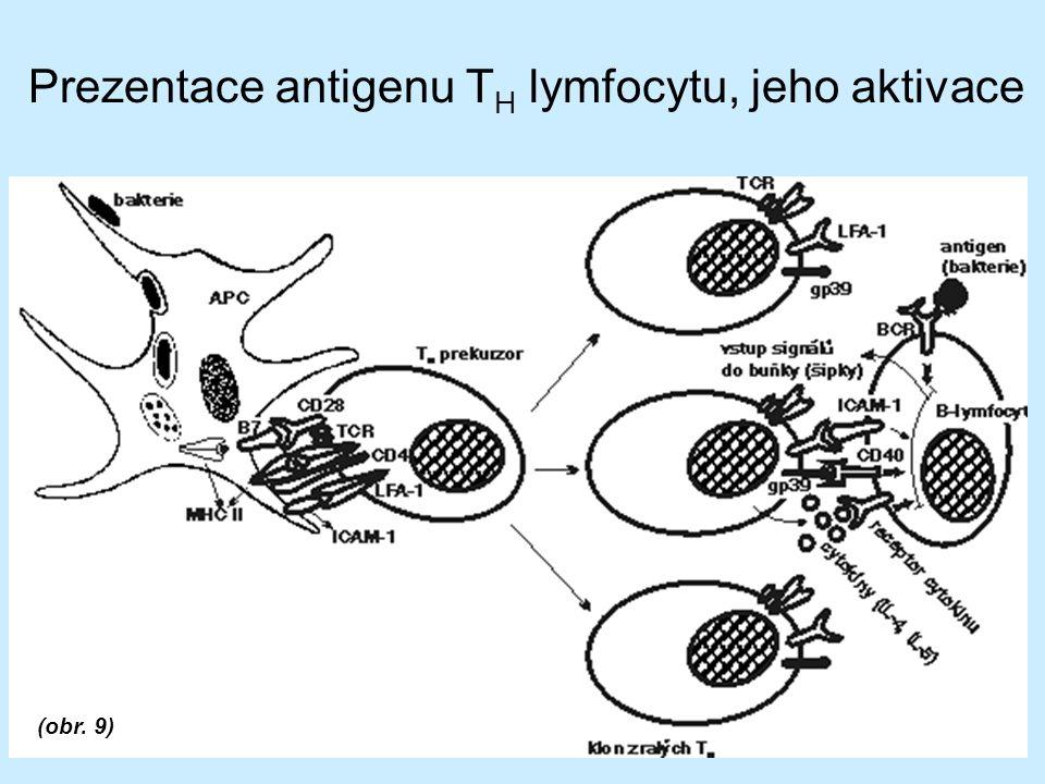 Prezentace antigenu T H lymfocytu, jeho aktivace (obr. 9)