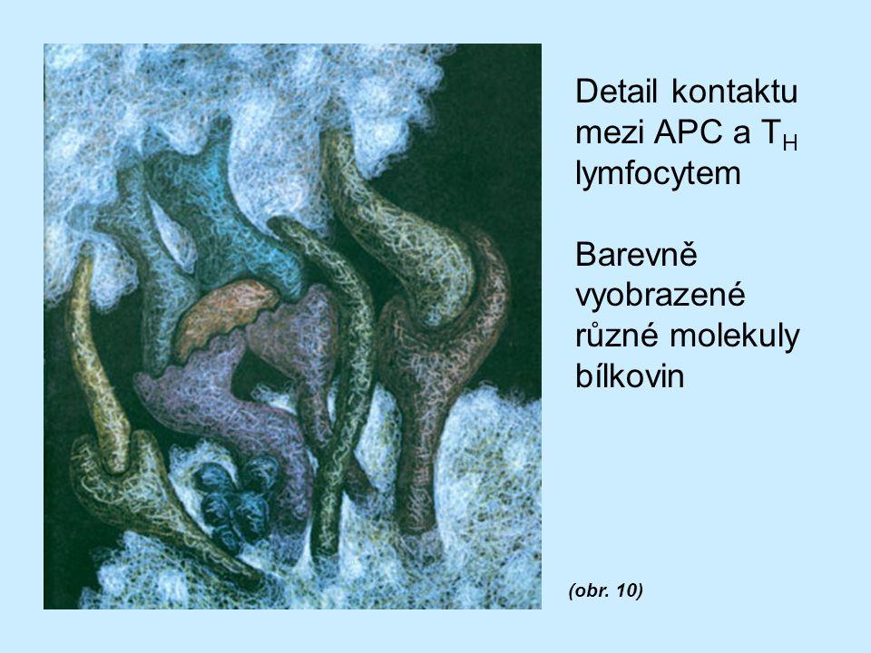 Detail kontaktu mezi APC a T H lymfocytem Barevně vyobrazené různé molekuly bílkovin (obr. 10)