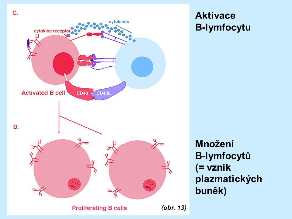 Aktivace B-lymfocytu (obr. 13) Množení B-lymfocytů (= vznik plazmatických buněk)