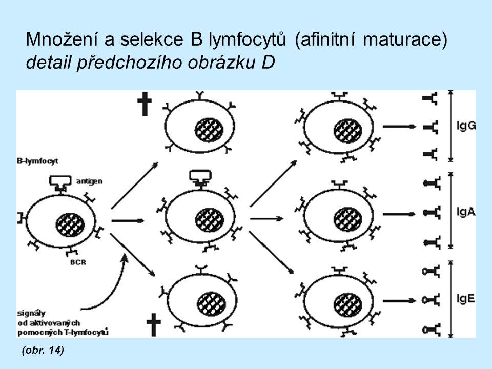 Množení a selekce B lymfocytů (afinitní maturace) detail předchozího obrázku D (obr. 14)