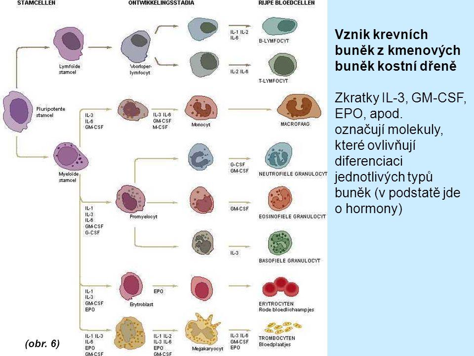 Vznik krevních buněk z kmenových buněk kostní dřeně Zkratky IL-3, GM-CSF, EPO, apod.