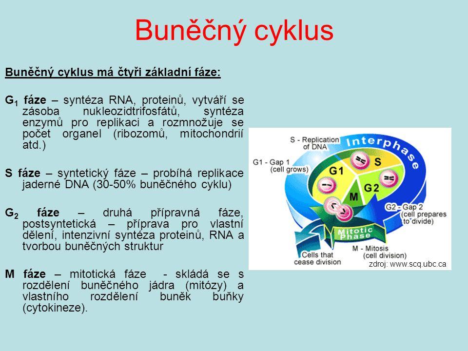 Buněčný cyklus Buněčný cyklus má čtyři základní fáze: G 1 fáze – syntéza RNA, proteinů, vytváří se zásoba nukleozidtrifosfátů, syntéza enzymů pro replikaci a rozmnožuje se počet organel (ribozomů, mitochondrií atd.) S fáze – syntetický fáze – probíhá replikace jaderné DNA (30-50% buněčného cyklu) G 2 fáze – druhá přípravná fáze, postsyntetická – příprava pro vlastní dělení, intenzivní syntéza proteinů, RNA a tvorbou buněčných struktur M fáze – mitotická fáze - skládá se s rozdělení buněčného jádra (mitózy) a vlastního rozdělení buněk buňky (cytokineze).