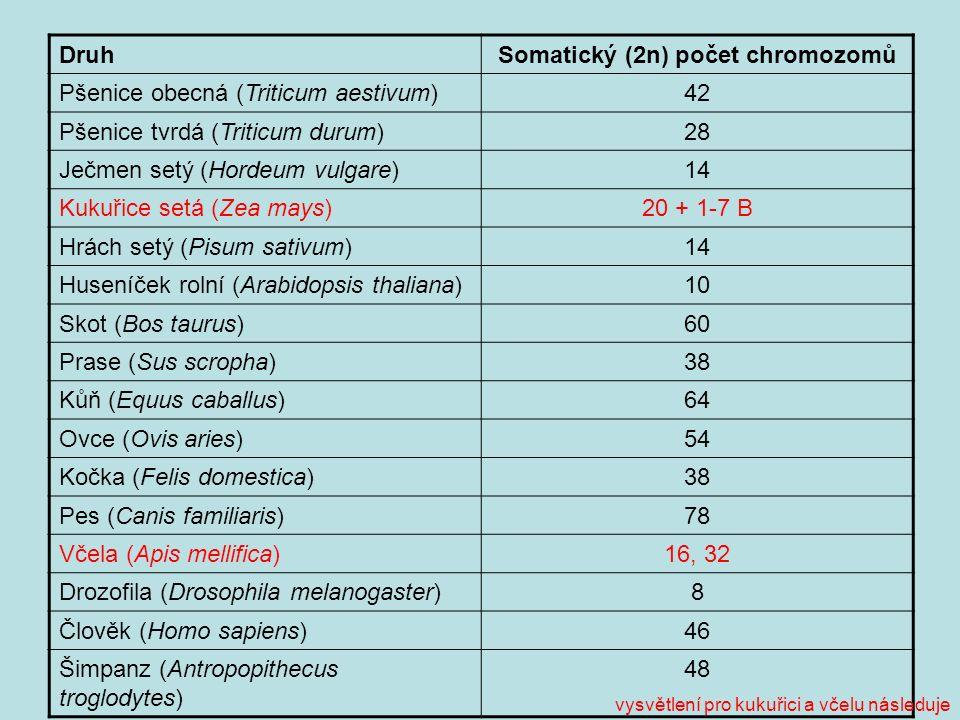 DruhSomatický (2n) počet chromozomů Pšenice obecná (Triticum aestivum)42 Pšenice tvrdá (Triticum durum)28 Ječmen setý (Hordeum vulgare)14 Kukuřice setá (Zea mays)20 + 1-7 B Hrách setý (Pisum sativum)14 Huseníček rolní (Arabidopsis thaliana)10 Skot (Bos taurus)60 Prase (Sus scropha)38 Kůň (Equus caballus)64 Ovce (Ovis aries)54 Kočka (Felis domestica)38 Pes (Canis familiaris)78 Včela (Apis mellifica)16, 32 Drozofila (Drosophila melanogaster)8 Člověk (Homo sapiens)46 Šimpanz (Antropopithecus troglodytes) 48 vysvětlení pro kukuřici a včelu následuje
