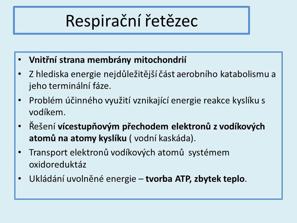 Respirační řetězec Vnitřní strana membrány mitochondrií Z hlediska energie nejdůležitější část aerobního katabolismu a jeho terminální fáze.