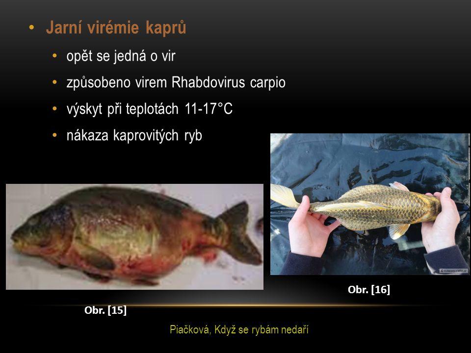 Jarní virémie kaprů opět se jedná o vir způsobeno virem Rhabdovirus carpio výskyt při teplotách 11-17°C nákaza kaprovitých ryb Obr. [15] Obr. [16] Pia