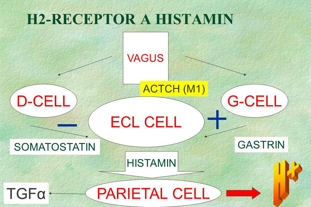 H2-RECEPTOR A HISTAMIN VAGUS ECL CELL D-CELLG-CELL SOMATOSTATIN GASTRIN HISTAMIN PARIETAL CELL TGFα ACTCH (M1)